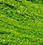Bright green seaweed Stock Photo