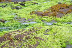 Bright green seaweed Royalty Free Stock Photography