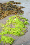 Bright green seaweed Royalty Free Stock Image