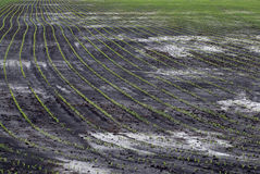 Bright green seedling grow in rows Stock Photos
