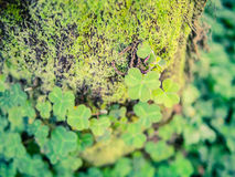 Bright green shamrock clover on the tree trunk Royalty Free Stock Image