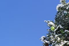 Bright green shiny Christmas ball and other Christmas decorations on the branch growing in the Park snowy fir  lat. Abies on the Royalty Free Stock Photos