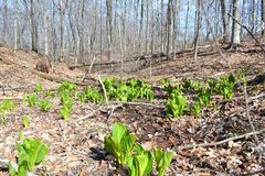 Bright green skunk cabbage in early spring Stock Image