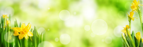 Bright green spring panorama background. With daffodils and bokeh effects Royalty Free Stock Photos