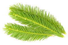 Bright Green Spruce Branches Isolated on White Background Royalty Free Stock Image