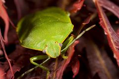 Bright green stink bug. On red background Royalty Free Stock Image