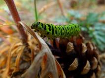 Green caterpillar of swallowtail Stock Photo