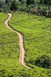 Bright green teafields with sand road passing through. Stock Photos