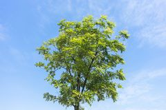 A tree on blue sky background. A bright green tree on blue sky background in sunny day Royalty Free Stock Images