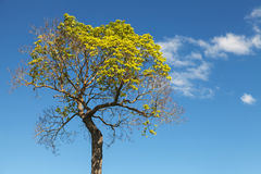 Bright green tree with blue sky and clouds Stock Images