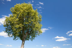 Bright green tree with blue sky and clouds Royalty Free Stock Photos