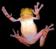 Bright green tree frog with a pink belly clung to the glass. Funny bright green frog with a pink belly clung to the glass with fingers on the suckers on a black Royalty Free Stock Images