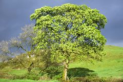 Bright green tree under dark grey storm clouds. Uk stock images