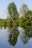 Bright green trees Mirror reflected in the river in the summer. Ukraine Stock Images
