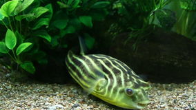 Bright green tropical fish close-up.  stock video footage