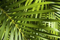Bright Green Tropical Palm Frond Background Royalty Free Stock Photo