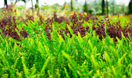 Bright Green Tuber sword-fern Nephrolepis cordifolia. Closeup of red and maroon ferns Stock Images