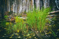Bright green tufts of grass. On a gloomy autumn swamp Royalty Free Stock Images