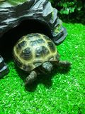 Bright green turtle of Central Asia stands in a terrarium royalty free stock photo