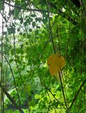 Bright green vine background and one single yellow leaf view Stock Images