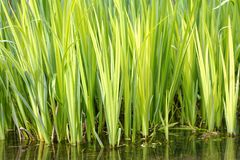 Water reeds, hertfordshire,england. ponds summer. Bright green water reeds growing in profusion in a small hertfordshire pond. Water reeds provide home for many royalty free stock photography