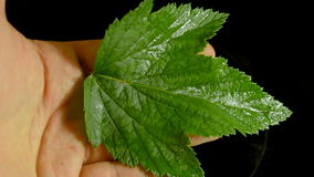 Bright green wet currant leaves stock video footage