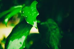 Bright green wet leaf after rain, abstract natural background an Stock Photography