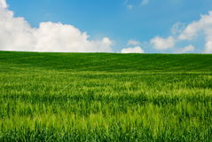 Bright green wheat field Stock Images