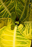 Bright green and yellow patterns on a whorl of croton leaves. Croton plants have bright colors and variegated leaves that grow in a whorl of color Royalty Free Stock Photo