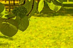 Green and yellow summer leaves royalty free stock photos