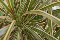 Bright green Yucca plant leaves royalty free stock images