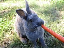 Bright grey bunny rabbit fed carrot at Jericho beach. Bright cute grey bunny rabbit being fed carrot treat at Jericho beach, Vancouver royalty free stock images