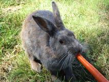 Bright grey bunny rabbit fed carrot at Jericho beach. Bright cute grey bunny rabbit being fed carrot treat at Jericho beach, Vancouver royalty free stock photography