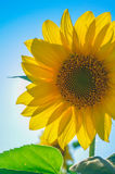 Bright growing sunflower Stock Photo