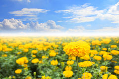 Bright Happy Field of Marigold Flowers With a Blue Cloudy Sky Royalty Free Stock Image