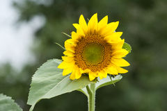 Bright happy sunflower opening to great a new day in the garden Royalty Free Stock Photo
