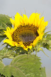 Bright happy yellow sunflower with blue sky and green leaves Royalty Free Stock Image
