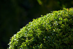 Bright hedge Royalty Free Stock Image