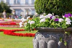 Bright heranium flowers in ancient stone pot Stock Photos