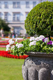 Bright heranium flowers in ancient stone pot Stock Images