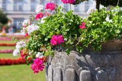 Bright heranium flowers in ancient stone pot Royalty Free Stock Photo