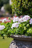 Bright heranium flowers in ancient stone pot Royalty Free Stock Image