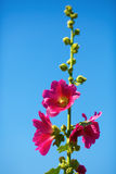Bright hollyhock flowers. Bright pink mallow flowers on a background of blue sky. Hollyhock flower. Shallow depth of field. Selective focus Stock Photo