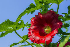 The bright hollyhock Royalty Free Stock Images