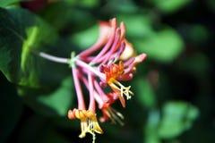 Honeysuckle flowers closeup stock photo