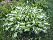 Bright Hosta, Funkia, in the garden. Green striped Plantain lily leaves Royalty Free Stock Photos