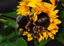 Bright huge birdeater tarantula spider Brachypelma Smithi with colorful sunflowers. Large dangerous giant arachnid stock images