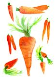 Bright huge carrot. And separate two and one carrots. Watercolor Royalty Free Stock Photography