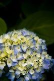 Bright hydrangea in the dark. Stock Image