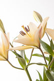 Bright image of lilies. Royalty Free Stock Image